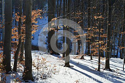 Lots of trees and their shadows in the forest during winter time.