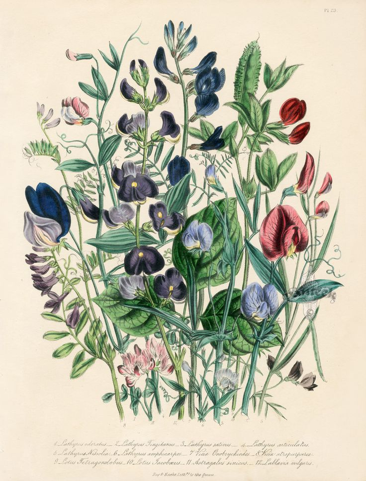 vintage botanical prints | Antique Botanical Prints from Jane Webb Loudon