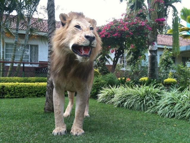 TAXIDERMY LION, FULL MOUNT. (13,900.00, via Etsy.)