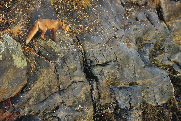 Fox on the Rocks - Wall Mural & Photo Wallpaper - Photowall