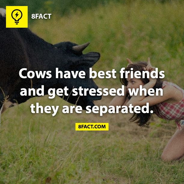"See!  The people at work think I am crazy for loving my cows.  The cows like it when I talk sweet to them.  They are more ""human"" than you think!"