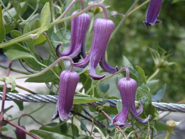 The 17 best wildflowers north america images on pinterest clematis perennial seeds blue clematis leatherflower vine native plant heirloom seeds open pollinated untreated seeds grow your own mightylinksfo