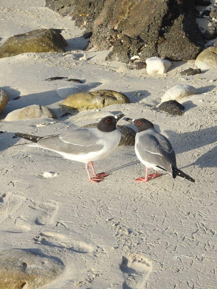 2 Gulls Courting