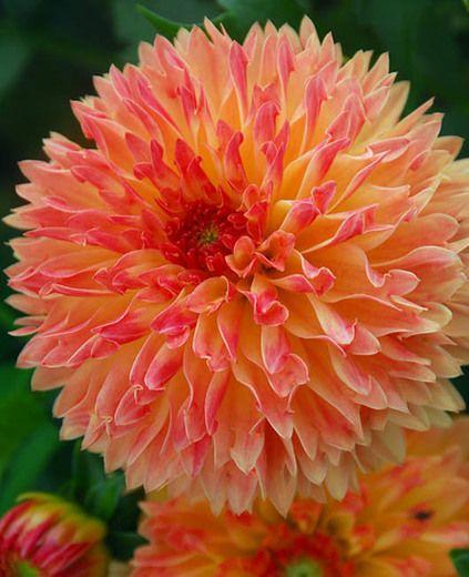 Dahlia Puerto Rico, 'Puerto Rico' Dahlia, Decorative Dahlias, orange Dahlias, Dahlia Tubers, Dahlia Bulbs, Dahlia Flower, Dahlia Flowers, summer bulbs