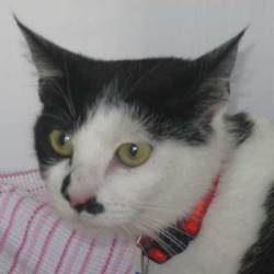 Grace is an adoptable Domestic Short Hair Cat in Rancho Santa Fe, CA. Hello! Have you ever seen as beautiful a coat as mine