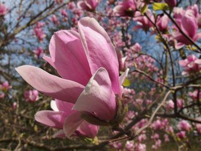 No i zakwitły magnolie...
