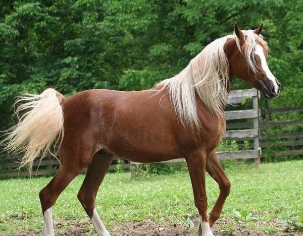 923 best images about Araber / Arabian horses on Pinterest ...