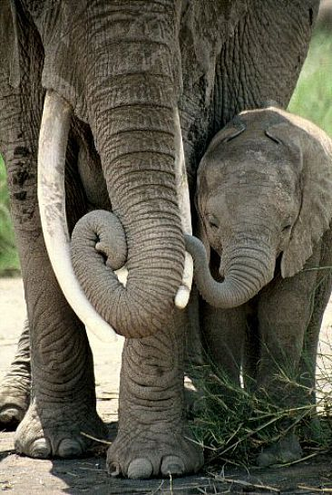 African Elephant Mother&Calf