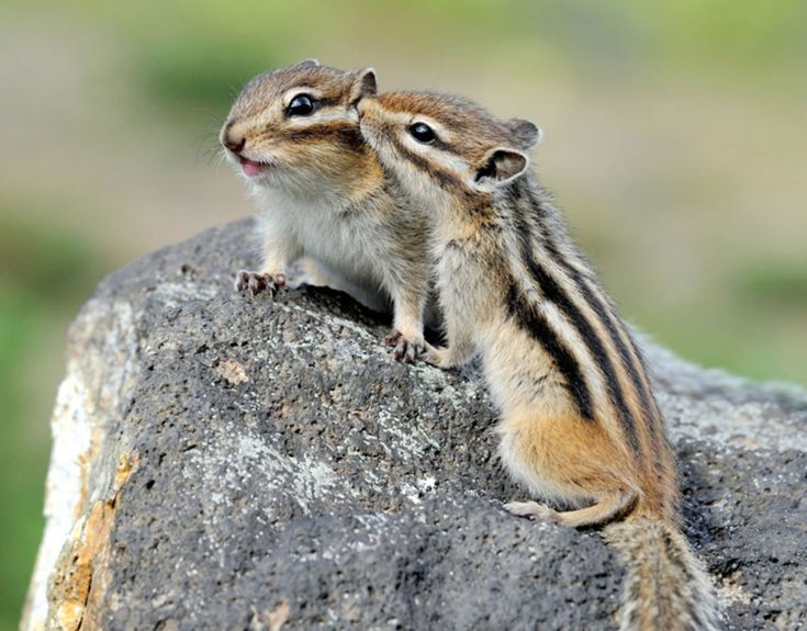 Chipmunk kisses.