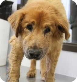 Frederick - Golden Retriever mix - 12 yrs old - Bowling Green, KY - Bowling Green Warren Co. Humane Society - http://www.bgshelterpets.com http://www.adoptapet.com/pet/10294779-bowling-green-kentucky-golden-retriever-mix https://www.facebook.com/pages/Bowling-GreenWarren-County-Humane-Society/145751229030 Click on pic for additional info on this furry baby♥