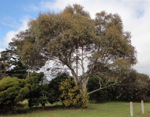 Eucalyptus-leucoxylon-ssp-petiolaris.jpg