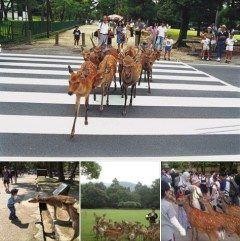 横断歩道を渡る鹿 恐る恐る鹿せんべいをあげるちびっ子 ホルンの音色に集まる鹿 観光客と触れ合う鹿  人間と鹿とが共存共栄しているここ奈良公園がインドネシアで最も大きいニュースポータルサイトのひとつであるDetik.comで取り上げられましたよ インドネシア人観光客も増えて欲しいなと願う奈良観光協会  http://ift.tt/2bzDtop   リリースに掲載の写真は公益社団法人奈良市観光協会さんよりお借り致しました http://ift.tt/2bNTebk  tags[奈良県]