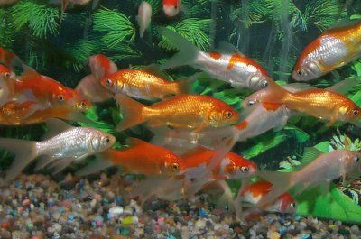 common goldfish | School of Common and Commet Goldfish, Carassius gibeliopreviously ...
