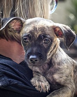 St Helena, CA - Chihuahua/Terrier (Unknown Type, Small) Mix. Meet Haley, a puppy for adoption. http://www.adoptapet.com/pet/19188844-st-helena-california-chihuahua-mix