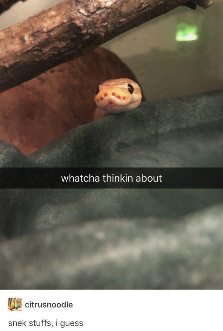 akihiko the ball python banana pinstripe snake sneks
