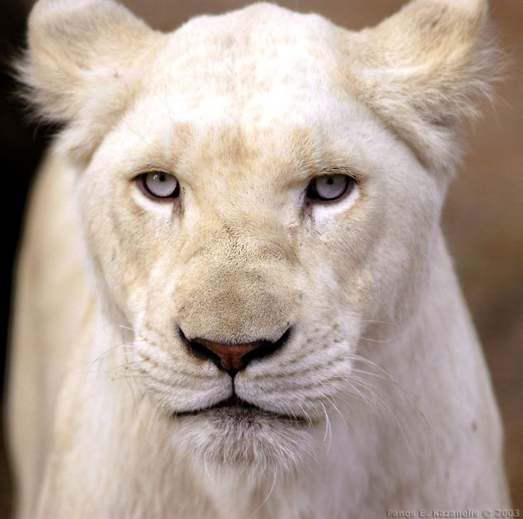 There are only 32 white lions counted in the world.  Colour achieved through recessive gene.  Mostly found in South Africa's Kruger National Park.  What a beauty!