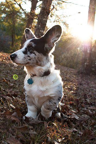 Byron - Cardigan Welsh Corgi - Puppy 5 Months #corgi