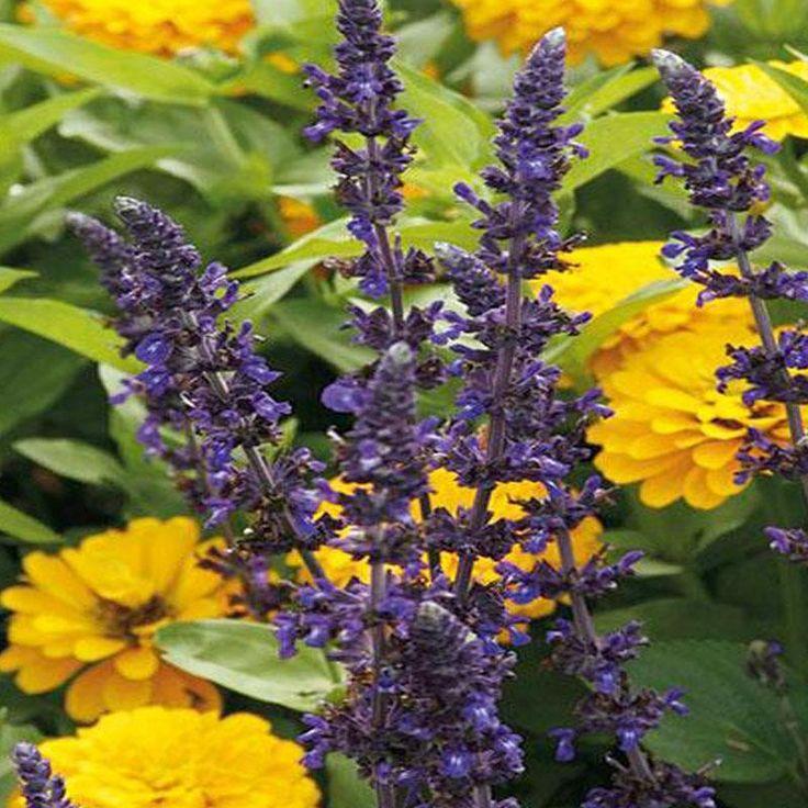 Mystic spires blue sage in 2020 Date plant, Summer
