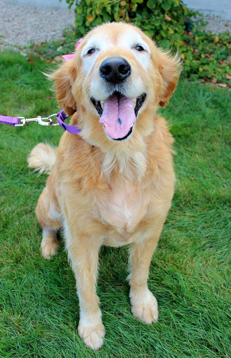 Snoopy has been adopted! Snoopy has been diagnosed with cancer and is looking for a hospice forever home. March 2016.This is Snoopy - 8 yrs. She was an owner surrender along with here mom due to economic circumstances. She is spayed, current on vaccinations, potty trained, kids over age 10 yrs. Only. She has a couple of masses that are being tested. Golden Retriever Rescue Resource, OH.