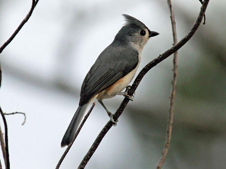 Back Yard Birds of Western North Carolina | Western north ...