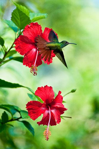 Hibiscus is a large genus containing over 200 species, including landscape shrubs attractive to butterflies and bees.
