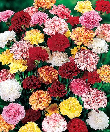 Another great find on #zulily! Fragrant Hardy Carnation Plant - Set of Three #zulilyfinds