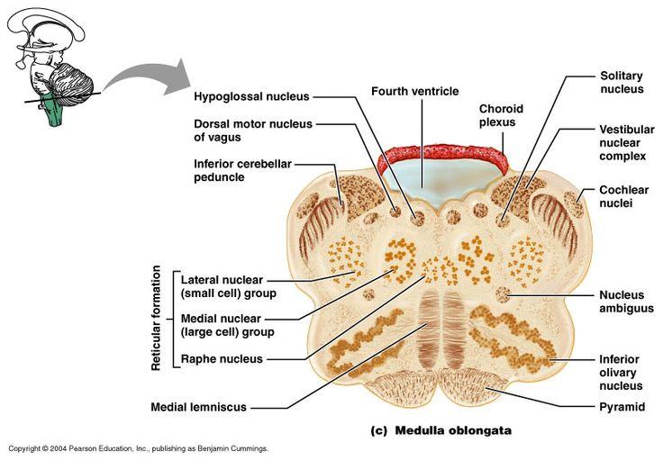 Reticular Formation Diagram