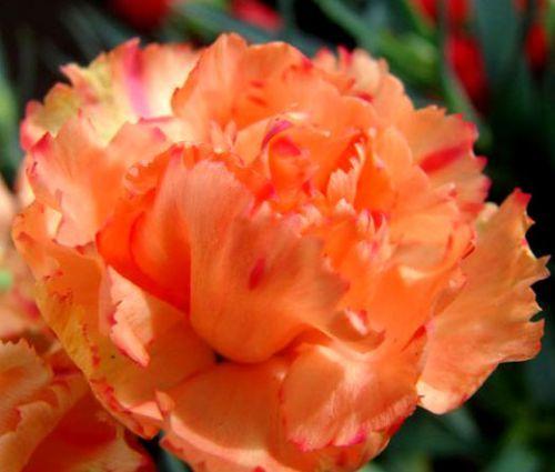 Carnation Chabaud Orange Seeds - Dianthus Caryophyllus