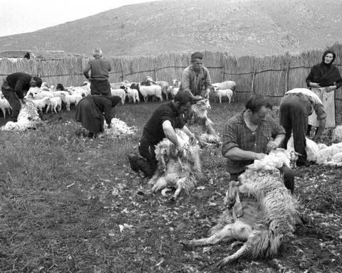 Κούρεμα προβάτων στo χωριό Γκιούλμπερη, νυν Αμφιθέα Λάρισας. Φωτογράφος: Τάκης Τλούπας. Χρονολογία: 1972.