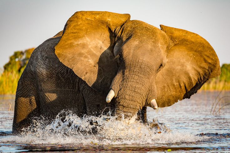"""Elephant Charge"" by Mike Soules: Our Nat Hab group was in a boat in the Okavango Delta near sunset when this elephant decided to wade across the channel. He charged the boat, but our guide backed away to keep us safe while allowing good photos."