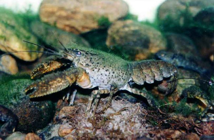 The koura, or freshwater crayfish, is dark green and mottled like the stones it lives amongst on stream bottoms. They take four years to grow only two centimeters.