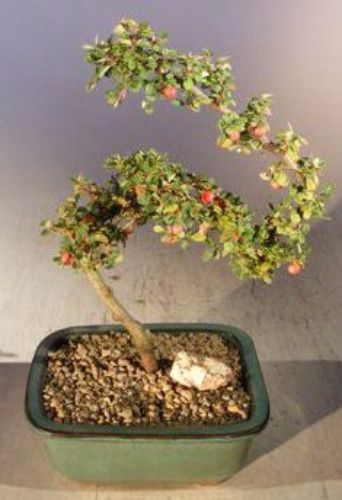 Flowering Cotoneaster Bonsai TreeCurved Trunk Style(dammeri 'streibs findling')