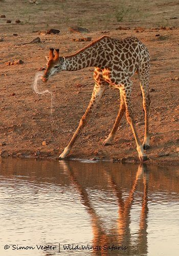 Giraffes always spray water as they come up from drinking ... seen at Kruger National Park