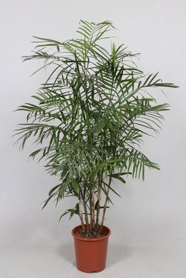 Palm Chamaedorea Seifrizii - Mexicaanse dwergpalm