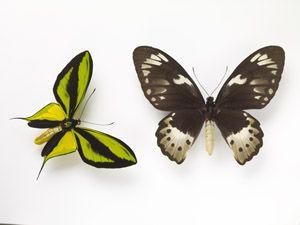 Sexual dimorphism in butterflies