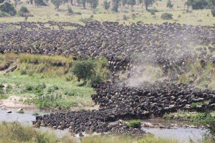 There are wildebeest for as far as the eye can see at Singita Mara River tented Camp!