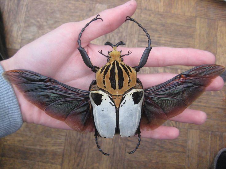 The Goliath Beetle.