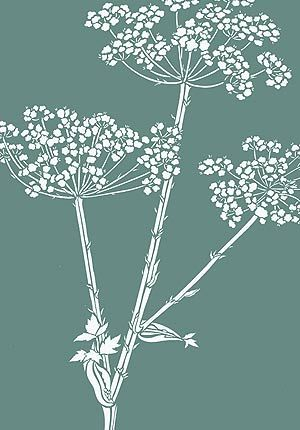 queen anne's lace drawing - Google Search