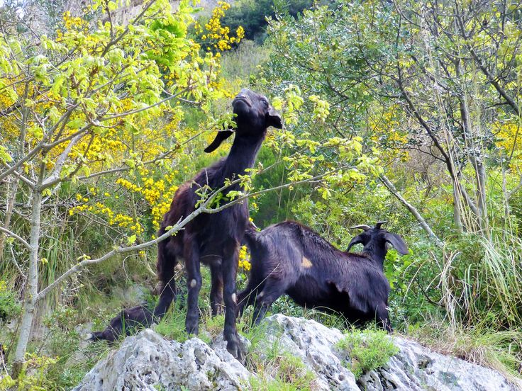 You may meet the local beautiful goats on your way
