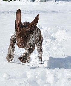 German Shorthair Pointers love snow! - look at those ears!!! I just want to twist them!!