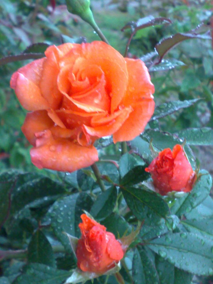 1000 images about roses for the soul on pinterest shrub. Black Bedroom Furniture Sets. Home Design Ideas