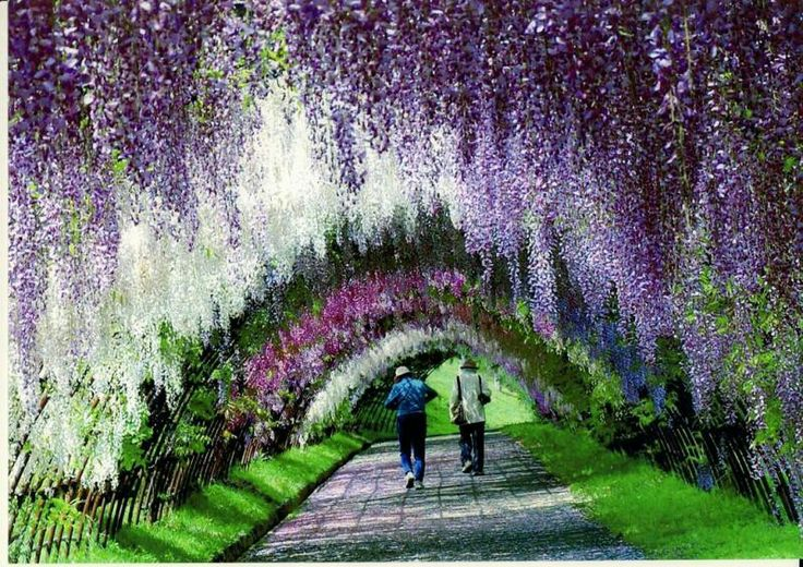 Wisteria Flower Tunnel Japan Beautiful Pinterest