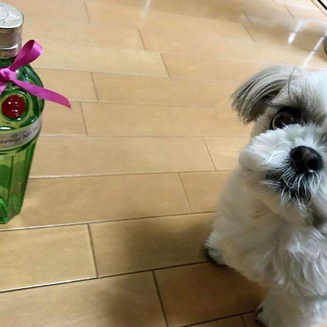 🐶Birthday gift for Dad 🎉 * #本日パパさんの誕生日 #モカさんからはタンカレー(No.10)🍾のプレゼント #ママからは赤ワイン詰め合わせ🍾🍾🍾🍾🍾🍾のプレゼント #飲み過ぎ注意 #シーズー大好き部 #犬バカ部 #シーズー#愛犬#dogoftheday#doglovers#dog#instadog#instashihtzu#shihtzu#nodognolife#shihtzulovers#cutedog#adorable#dogstagram#cute#shihtzulovers2#shihtzumania