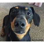 "279 Likes, 8 Comments - Evy The Weenie (@evy.the.weenie) on Instagram: ""💙💙 Good morning to all my beautiful furriends #dachshund #ilovedachshunds #dachshundlove…"""