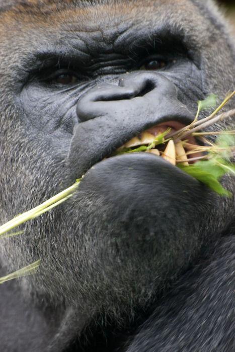 Gorilla Ou eu iniciando dieta...