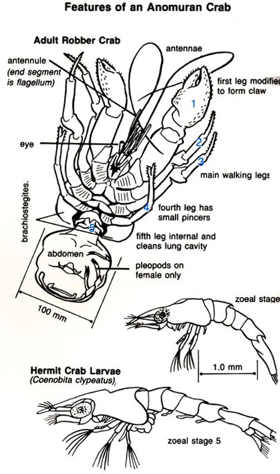 life cycle of a hermit crab