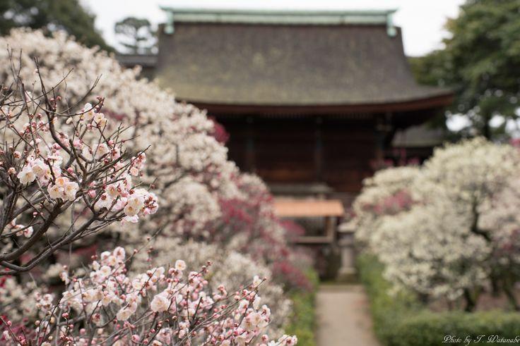 Fujiidera-shi, Ōsaka-fu, Japanで撮影された写真 道明寺天満宮の梅 : パシャデリック