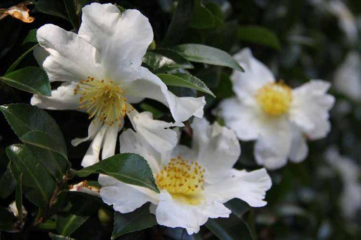 Camellia_Setsugekka