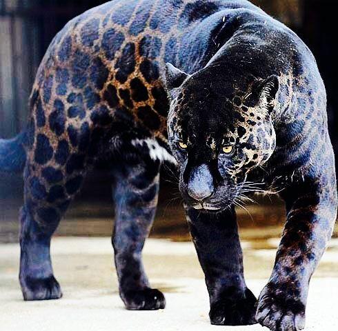 Panther - Black Jaguar