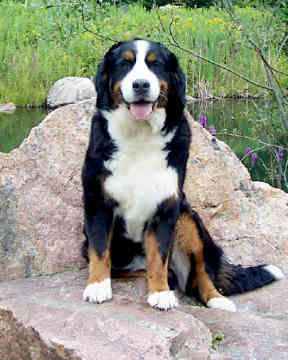 Lab Bernese Mountain Dog Mix Goldenacresdogscom